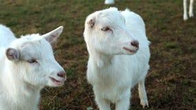 Weiße goatlings, die in der Wiese weiden lassen stock footage