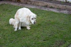 Weiße golden retriever-Hecks auf dem Gras lizenzfreies stockbild