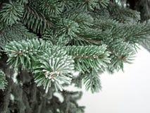 Weiße grüne Baumaste des Schnees mit Frostnadeln Wintereis auf dem gezierten Baum Lizenzfreie Stockfotos