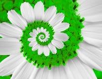 Weiße grüne Spiralenzusammenfassung der weißen Blume des Kamillengänseblümchenkosmos kosmeya Blumenspiralenzusammenfassung Fracta Stockfotografie
