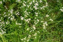 Weiße Gras-Blume und Unschärfehintergrund - kleine weiße Blumen in einem schönen Hintergrund des Feldes stockfotografie