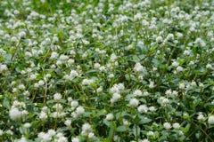 Weiße Grasblumenwiese Lizenzfreies Stockfoto