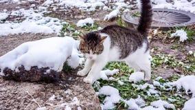 Weiße graue junge Katze, die zwischen Steinen mit Schnee, grünem Gras des Herbstes mit Schnee capret und grauem Boden jamping ist Stockbild