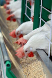 Weiße Hühner Stockbild