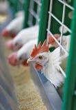 Weiße Hühner lizenzfreie stockfotografie