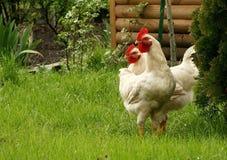 Weiße Hühner auf einem Bauernhof Lizenzfreies Stockfoto