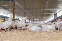 Weiße Hühner, Geflügelfarm stockfoto