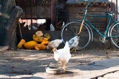Weiße Hühnergetränke in einem rustikalen Hof Lizenzfreies Stockfoto