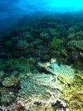 Weiße harte Koralle innerhalb des korallenroten Gartens stockfotos