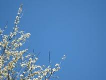 Weiße Hartriegel-Blumen und blauer Himmel-Hintergrund lizenzfreie stockfotografie