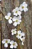 Weiße Hartriegelblüte auf Zaun Stockbild