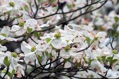 Weiße Hartriegelblüten nah oben stockfotografie