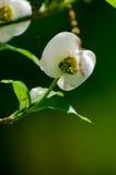 Weiße Hartriegelblume lizenzfreie stockfotos