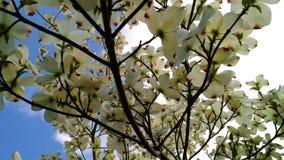 Weiße Hartriegelblumen Stockfotografie