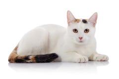 Weiße Hauskatze mit einem mehrfarbigen gestreiften Endstück stockfotos