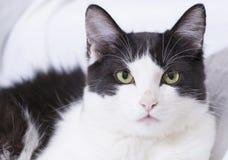 Weiße Hauskatze mit schwarzen Flecken stockbild