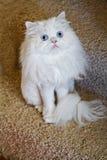 Weiße Haustier-Katze stockfoto