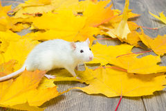 Weiße Haustierratte Lizenzfreie Stockfotografie