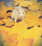 Weiße Haustierratte Stockfoto