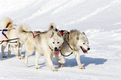 Weiße heisere Hunde Stockfotografie