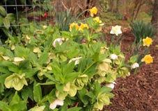Weiße Hellebores blühen stockfotos