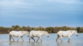 Weiße Hengste, die auf das Wasser gehen Lizenzfreie Stockbilder