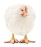 Weiße Henne Stockfoto