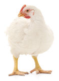Weiße Henne Stockbilder