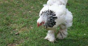 Weiße Henne mit 'Stiefeln gehend auf Gras und dem Essen stock video footage
