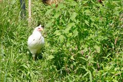 Weiße Henne mit grünem Laub Stockfoto