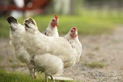 Weiße Hennen stockbilder
