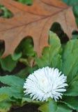 Weiße Herbstchrysantheme und Eichenblatt stockfotografie