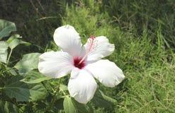 Weiße Hibiscusblume stockbild