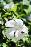 Weiße Hibiscusblume Stockfotografie