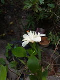 Weiße Hibiscusblume Stockfoto