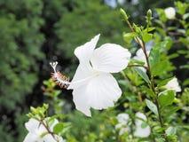 Weiße Hibiscusblume, die im Garten blüht Weiße Blume in Stockbilder
