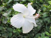 Weiße Hibiscusblume, die im Garten blüht Weiße Blume in Lizenzfreie Stockbilder