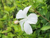 Weiße Hibiscusblume, die im Garten blüht Weiße Blume in Lizenzfreie Stockfotos