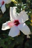 Weiße Hibiscusblume - Malvaceae Lizenzfreies Stockfoto