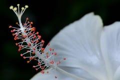 Weiße Hibiscusblumenblätter sind empfindlich stockfotografie