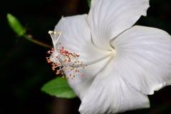 Weiße Hibiscusblumenblätter sind empfindlich lizenzfreies stockfoto