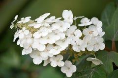 Weiße Hortensie-Blüte mit Blumen und Laub Stockfotos