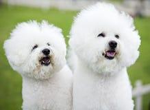Weiße Hunde Stockfoto