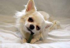 Weiße Hundechihuahuazucht, die Festlichkeit isst lizenzfreie stockbilder