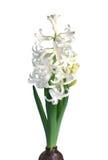 Weiße Hyazinthe Stockfoto