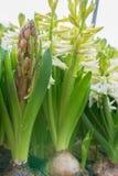 Weiße Hyazinthe mit grünem Blatt Lizenzfreies Stockbild
