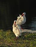Weiße IBIS-putzende Sitzung, Florida Lizenzfreies Stockbild