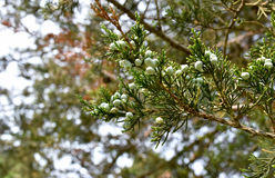 Weiße immergrüne Beeren Stockfotos