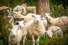 Weiße inländische Schafe in Nordirland lizenzfreie stockbilder