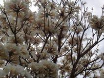 Weiße ipe-Blumen lizenzfreie stockfotografie